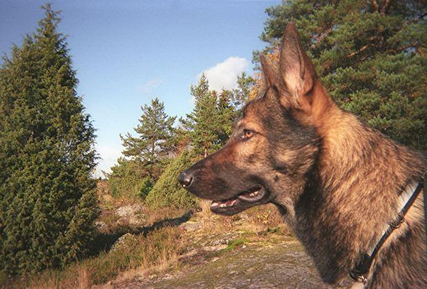 German Shepherd Dog - 101 Training Tips 1