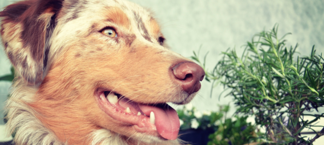 Australian Shepherd Training: 2 Insightful Articles (Must-Read!)