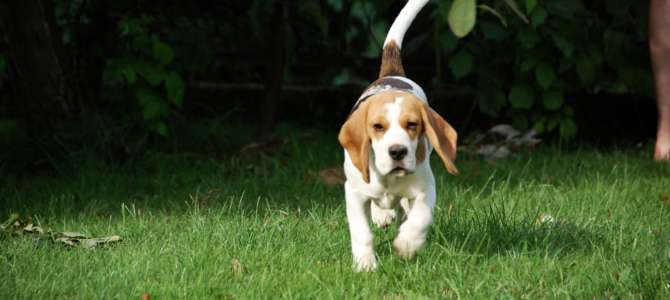 Beagle Training Suggestions: 6 Article and 3 Videos (Great Information!)