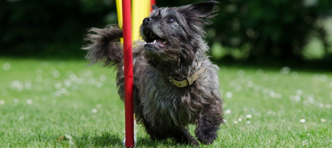 Dog Agility Training – (Almost) Every Tip & Trick You Should Own [With 3 Videos!]
