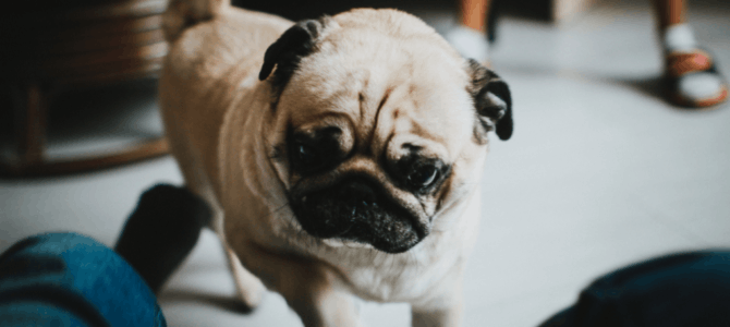Brain Training for Dogs: 10 Reasons Why Your Dog Ignores Your Commands