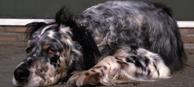 Dog Mange: Varieties, Causes, Symptoms & Treatments (Must-Know Tips!)