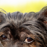 Ear Mites in Dogs: How to Get Your Best Friend Rid of This Bugs (Quick & Easy!) 3