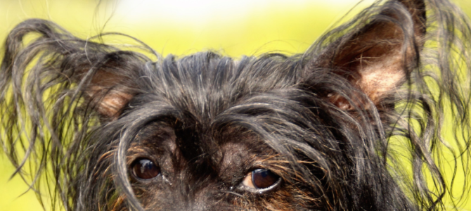 Ear Mites in Dogs: How to Get Your Best Friend Rid of This Bugs (Quick & Easy!)