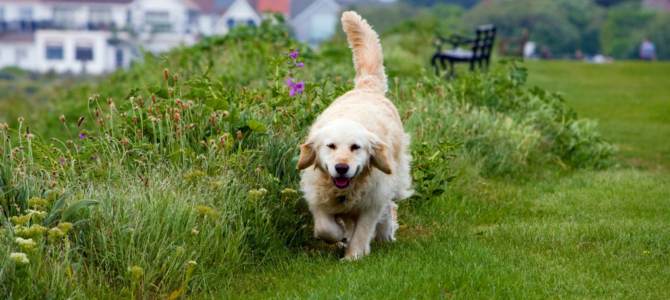 Golden Retriever Training: Handy Tips From Expert for Great Results (Easy Doable!)