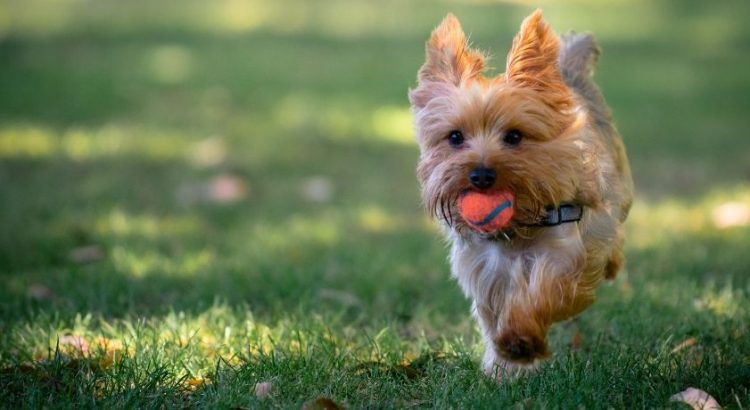 How To Train A Yorkie