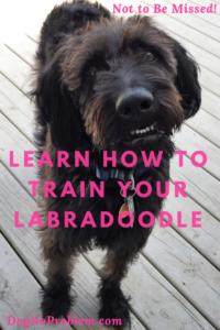 Labradoodle Training
