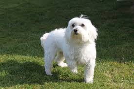 6 Popular Hypoallergenic Dog Breeds for Dog Lovers with Allergies [Stirring Read!] 2