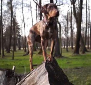 Rare Dog Breeds - Louisiana Catahoula Leopard Dog