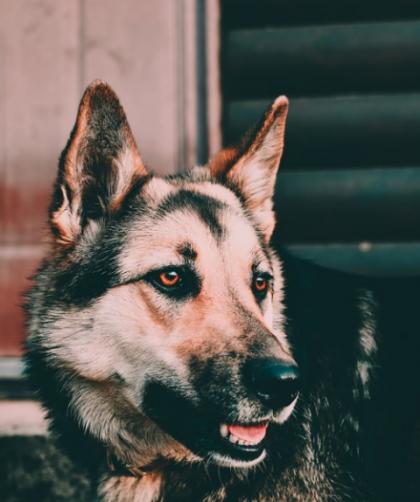 Schutzhund Dog