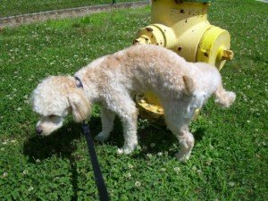 Urine Trouble in Dogs: