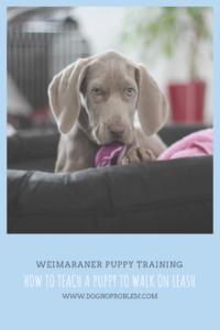 Weimaraner Puppy Training