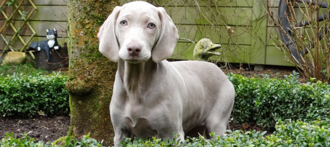 Weimaraner Training: Learn How to Train Your Weimaraner at Best (Proven Advice!)