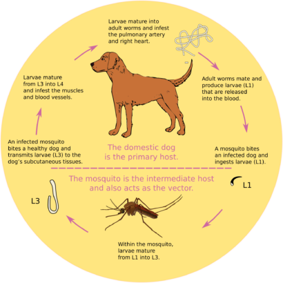 Worms in Dogs – Symptoms & Treatments (5 Articles!)