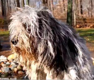 bergamasco sheperd dog