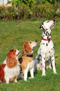 dog sit command