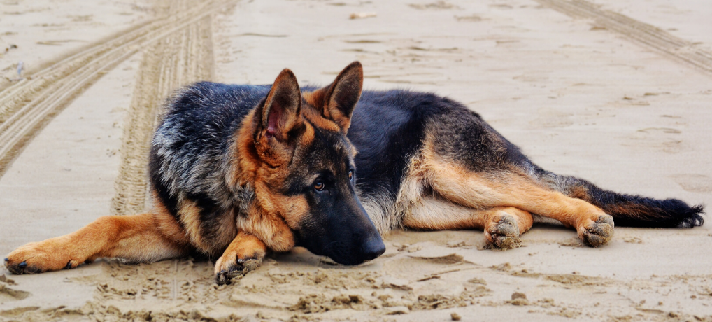 German Shepherd Dog 101 – Fundamental Training Tips