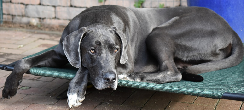 Great Dane Training Tips – Everything You Need To Know, Part 2 (5 More Articles!)