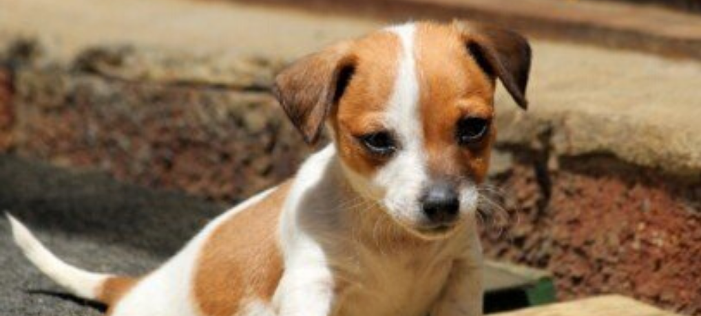 Jack Russell Terrier Training 2020 – Great Useful Advice (Articles & Videos)