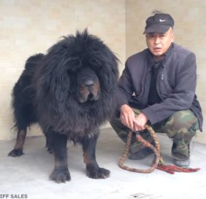 tibetan mastiff - rare dog breed